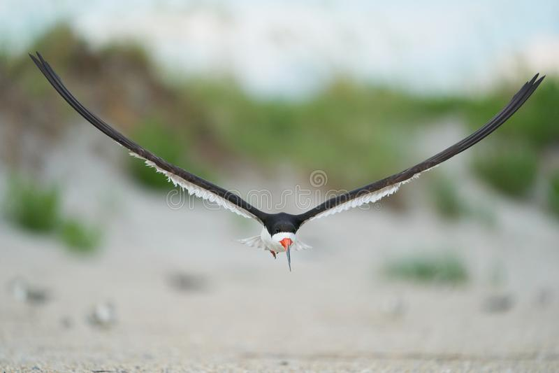A Black Skimmers flying over sea oats and the beach. An adult black Skimmers flies over the sea oats along Wrightsville Beach in Wilmington, North Carolina royalty free stock image