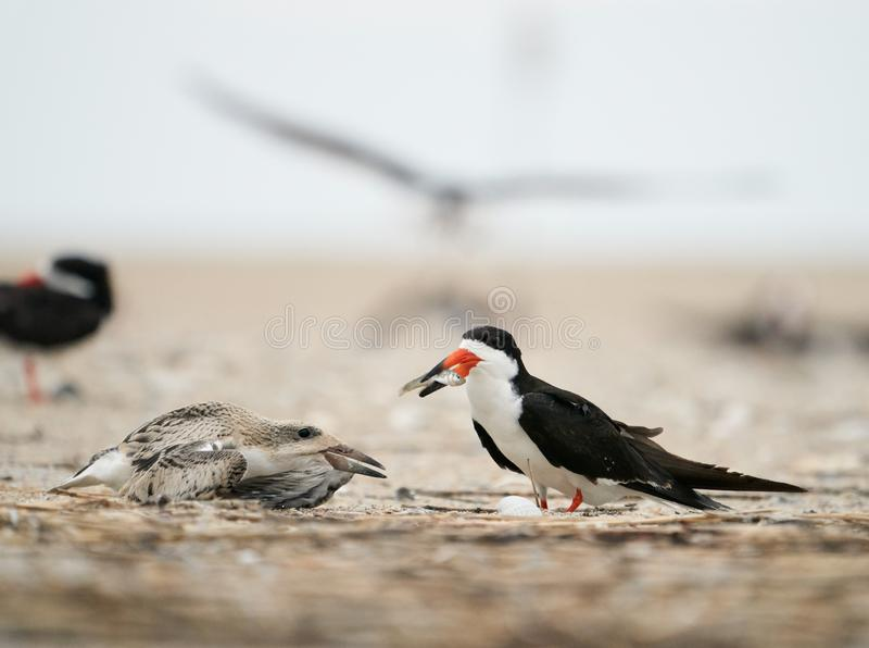 A Black Skimmers offers a fish to its young. An adult black Skimmers offers a fish to feed its young at Wrightsville Beach in Wilmington, North Carolina, during royalty free stock image