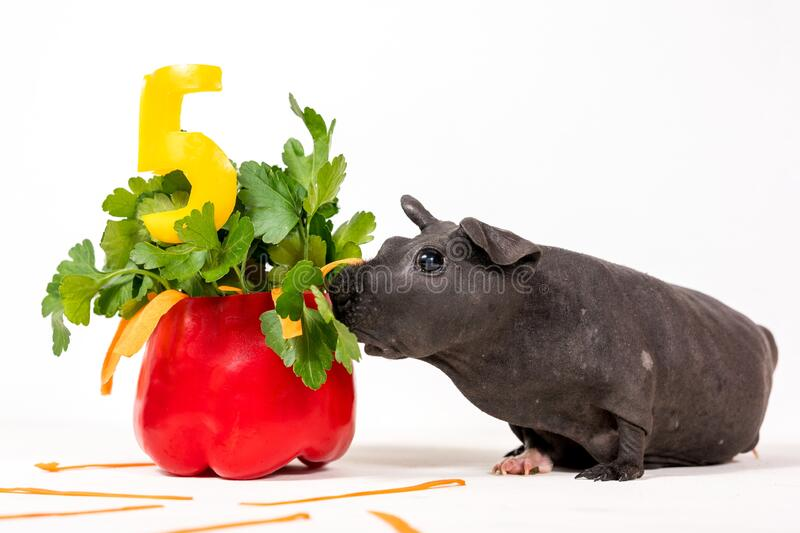 Black skinny guinea pig with vegetable cake stock images
