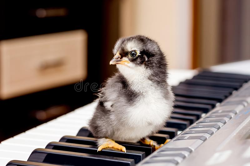 Black small chicken on the keys of the piano. The first steps i royalty free stock images