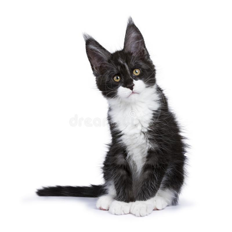 Black smoke Maine Coon kitten sitting with titeld head looking at camera isolated on white background. Black smoke maine coon kitten stock photography