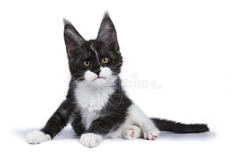 Black smoke Maine Coon kitten lying / getting up looking at camera isolated on white background. Black smoke maine coon kitten royalty free stock photos