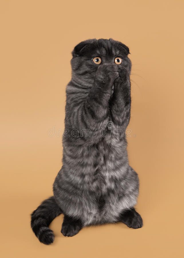 Black smoke scottish fold kitten on light brown background. Scottish fold kitten on light brown background stock photography