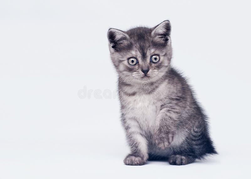 Black smoke scottish straight kitten