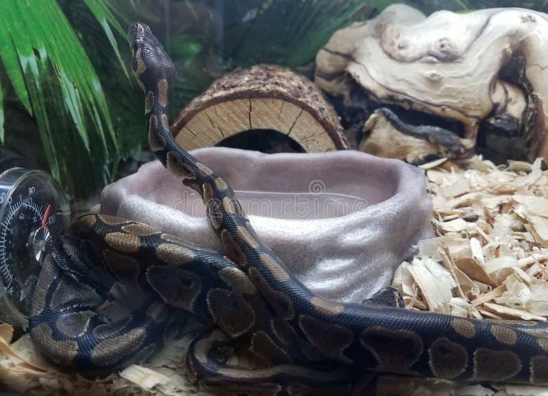 Black snake with brown spots in aquarium tank with wood chips. Black snake with brown spots in an aquarium tank with wood chips stock photo