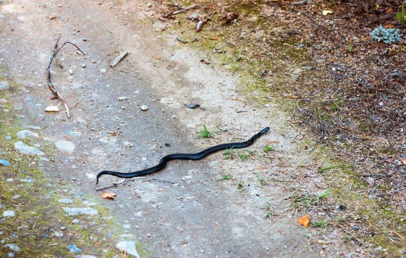 Black Snake Crawls royalty free stock images