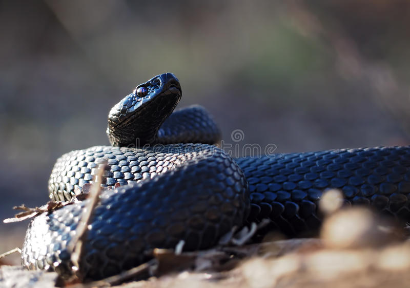 Black snake at the forest at leaves curled up in the ball vi. Black snake at the forest at the leaves curled up in the ball view from ground stock image