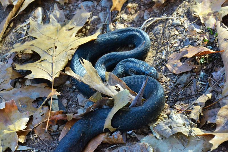Black Snake stock image