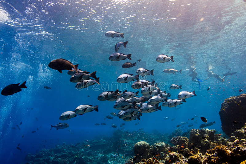 Black snapper shoal swimming along the reef royalty free stock photography