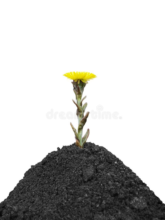 Black soil and yellow spring flower