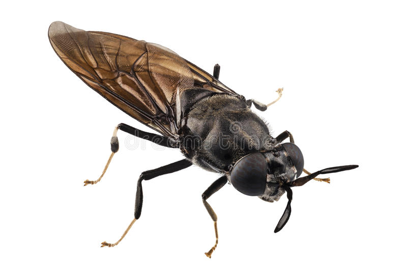 Black soldier fly species Hermetia illucens royalty free stock image
