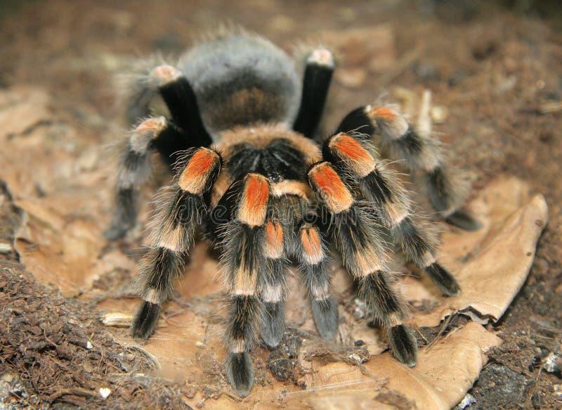 Black Spider. Stock Image