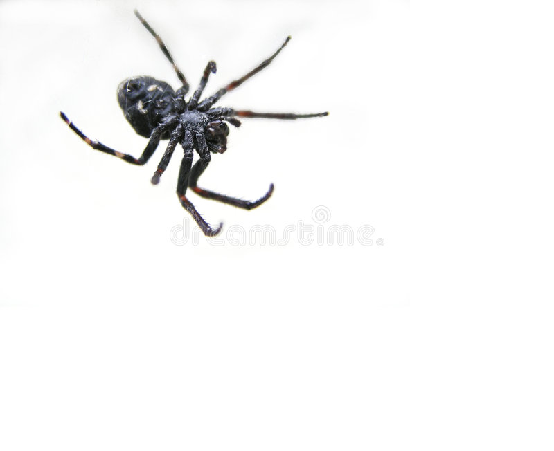 Download Black Spider Royalty Free Stock Photo - Image: 46295