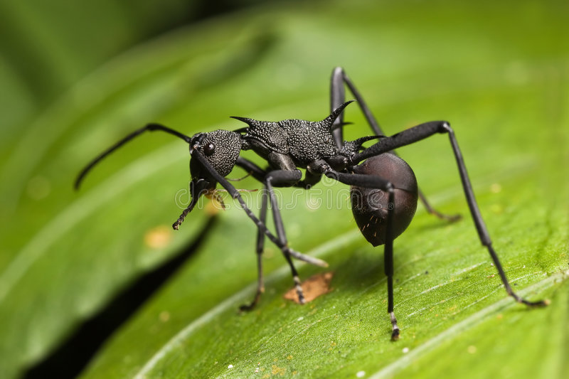 Black Spiky Ant. Macro on green leaf stock images