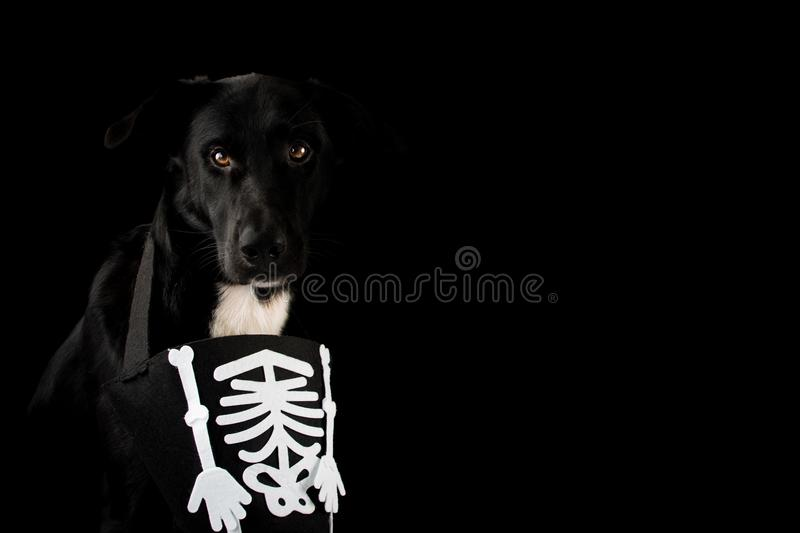 BLACK AND SPOOKY DOG DRESSED WITH A HALLOWEEN SKULL COSTUME. ISO. LATED AGAINST DARK BACKGROUND WITH COPY SPACE royalty free stock photo