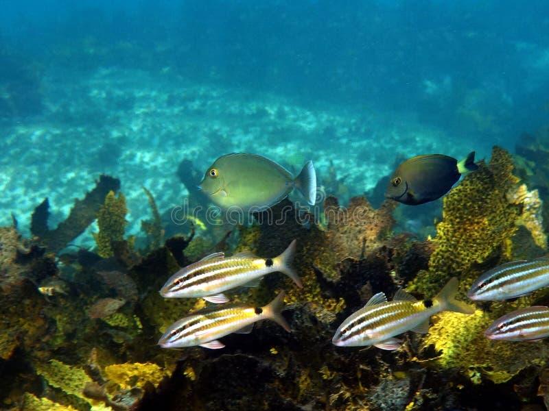 Black spot goatfish with surgeonfish. Black spot goatfish (Parupeneus spilurus) with surgeonfish royalty free stock images