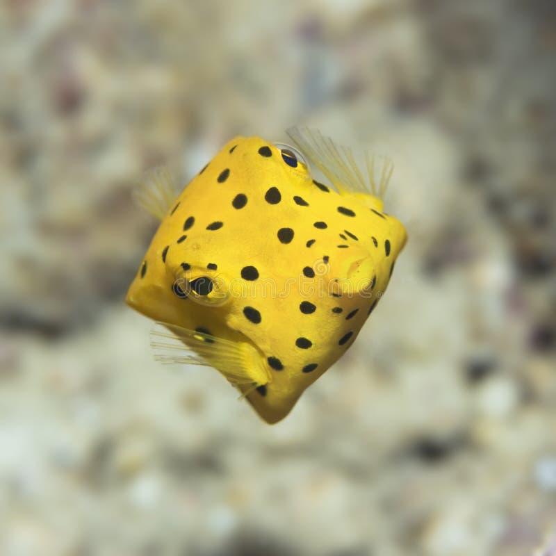 Black-spotted boxfish royalty free stock photos
