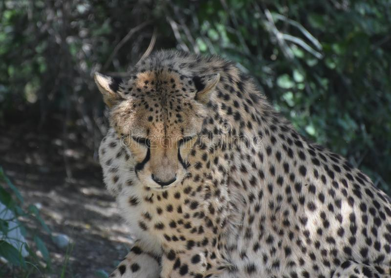 Black Spotted Coat on a Large Cheetah Cat in the Wild royalty free stock photography