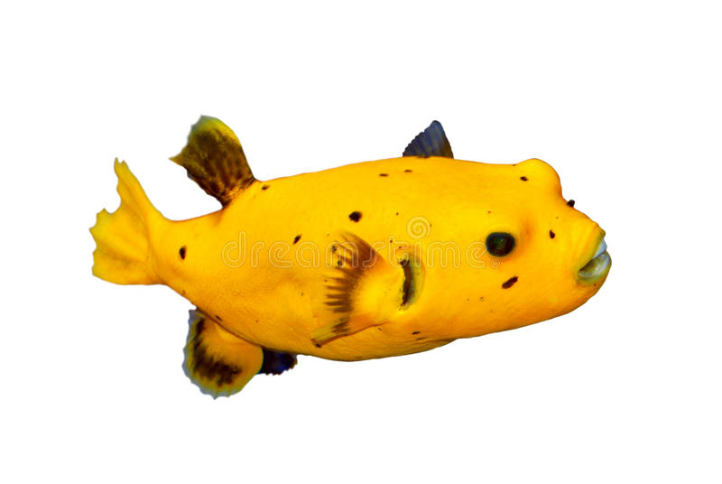 Black Spotted or Dog Faced Puffer fish stock image