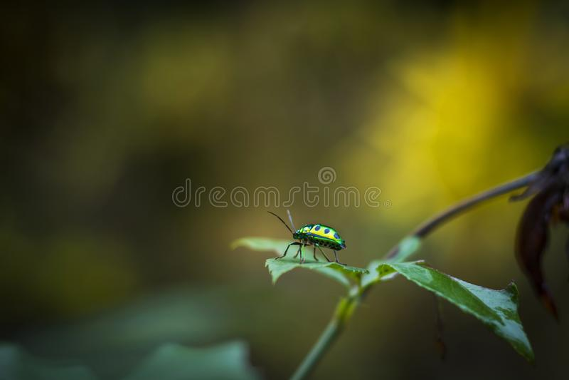Black spotted Jewel Beetle on leaf royalty free stock image