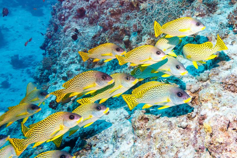 Black-spotted sweetlips. royalty free stock photography