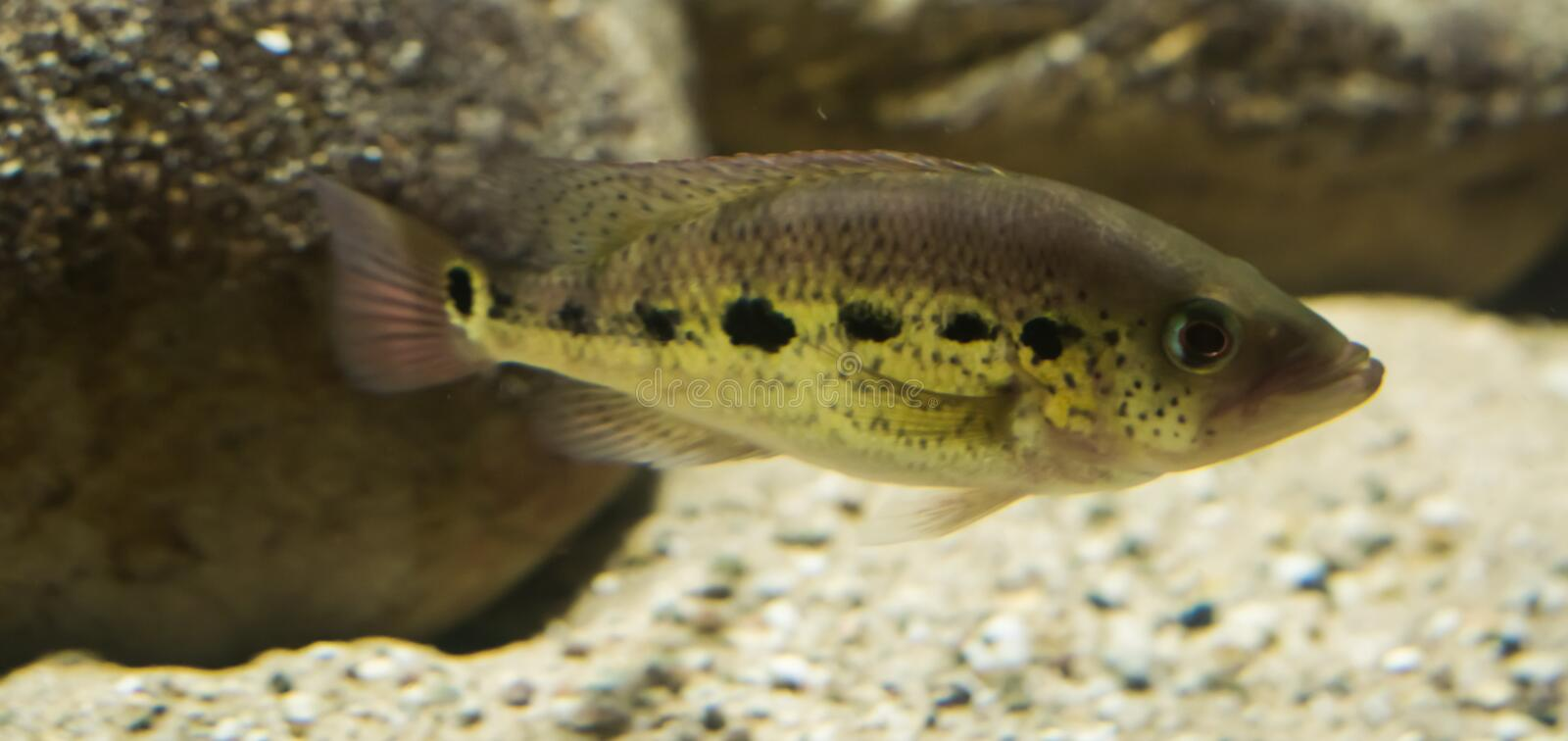 Black spotted tilapia cichlid fish, a tropical fish from Africa royalty free stock photography