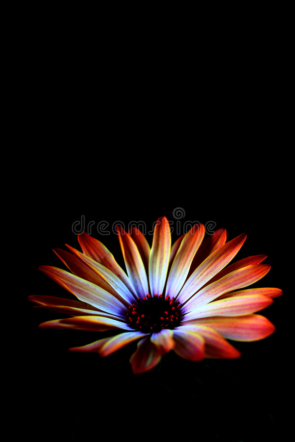 black spring flower royalty free stock photo