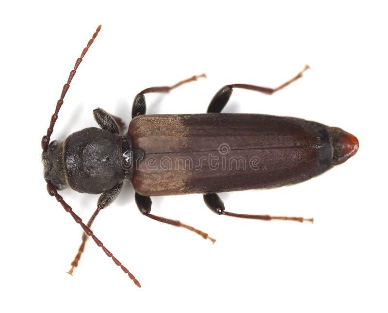 Black spruce long-horn beetle. (tetropium castaneum) isolated on white background royalty free stock image