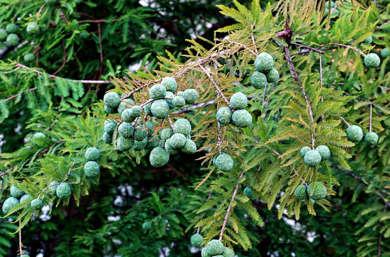 Black spruce, is a North American species of spruce tree in the pine family. A small, slow-growing tree, up to 20 metres tall and 25 centimetres in diameter stock image