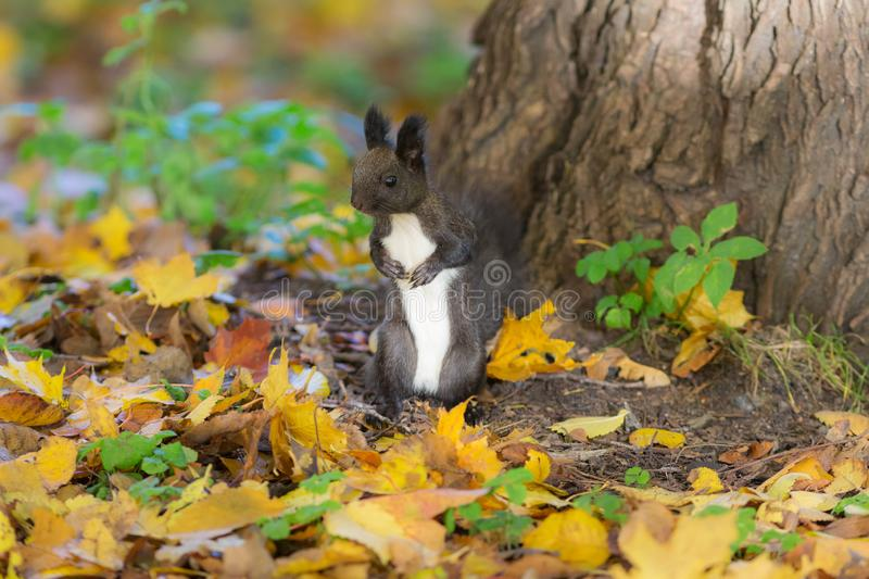Black squirrel on autumn leaves royalty free stock photo