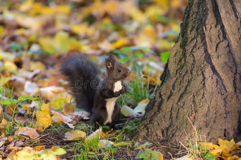 Black squirrel in autumn stock photos