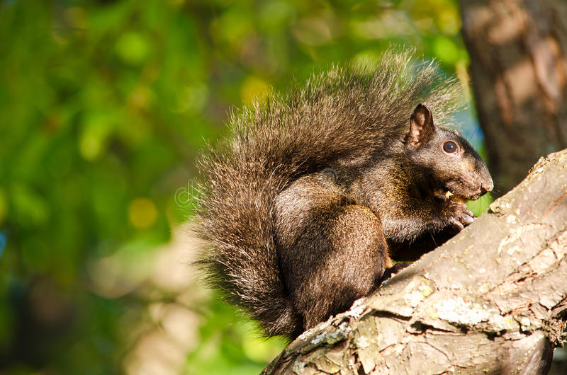 Black Squirrel On A Branch Stock Photo