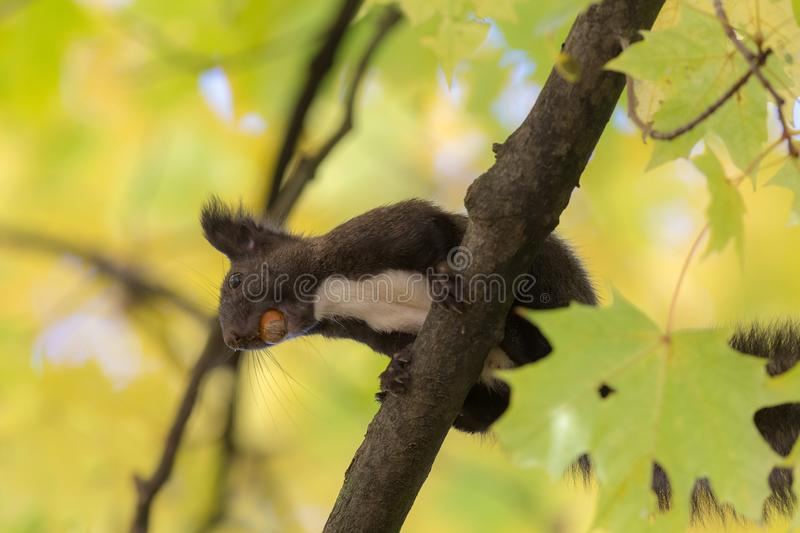 Black squirrel with a nut royalty free stock photo