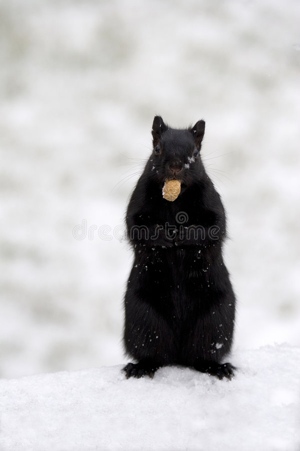 Black squirrel with peanut royalty free stock image