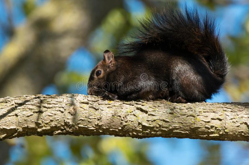 Download Black Squirrel stock image. Image of canadian, outside - 104238277