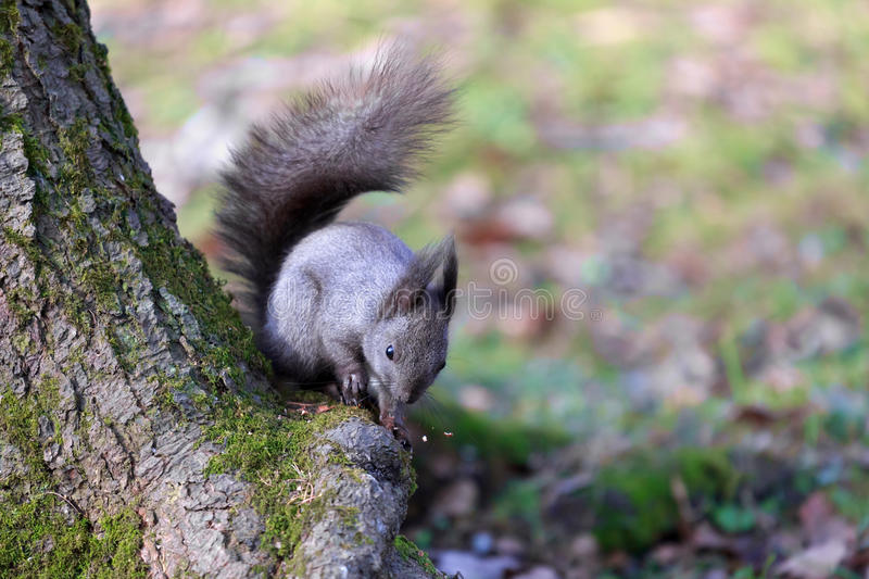 Black squirrel (Sciurus vulgaris) sitting under a tree and chews nuts. stock photography