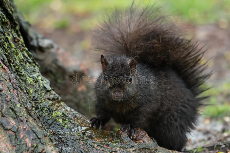 Black Squirrel. Standing at the base of a tree in the rain. Rosetta McClain Gardens, Toronto, Ontario, Canada royalty free stock photos