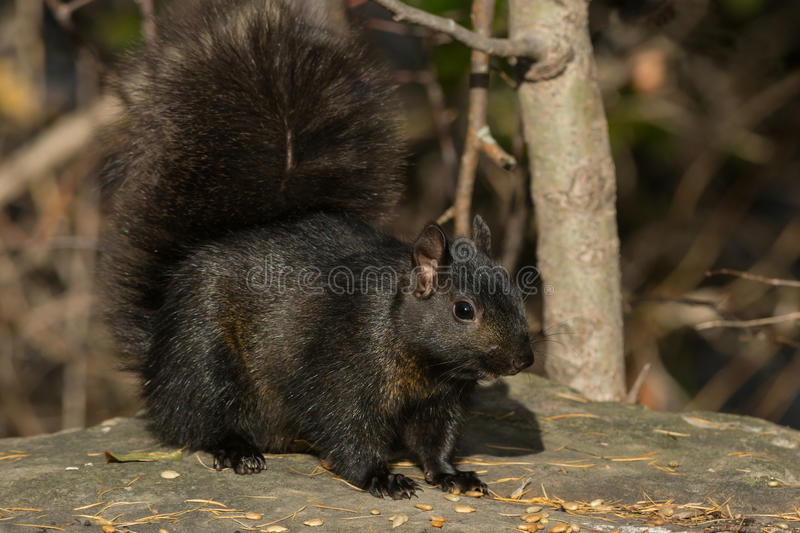 Black Squirrel. Standing on a flat rock. Ashbridges Bay Park, Toronto, Ontario, Canada stock images
