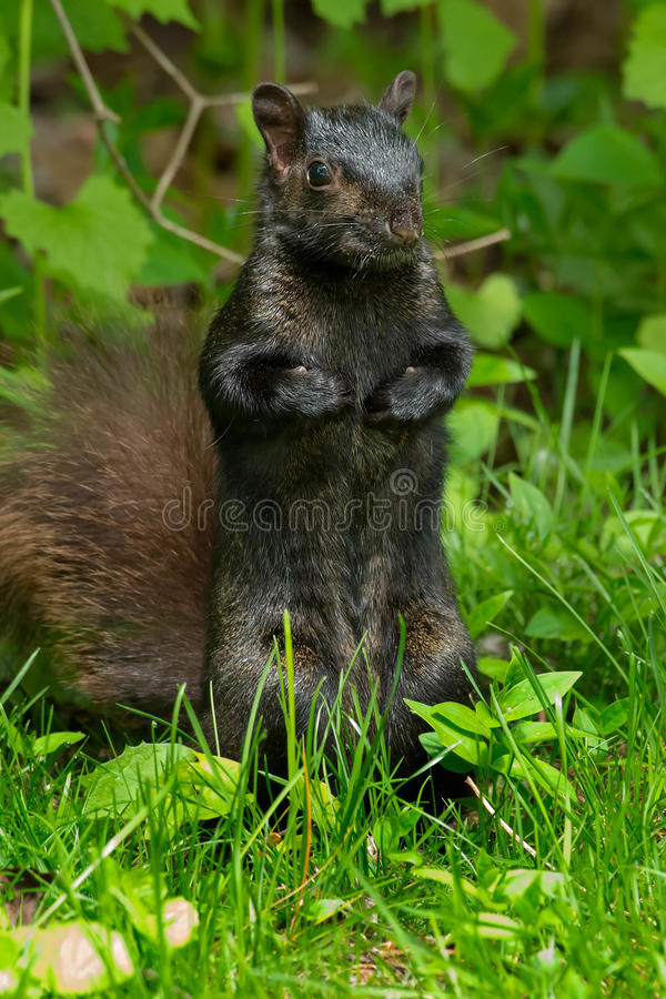 Black Squirrel. Standing up in the grass. Rosetta McClain Gardens, Toronto, Ontario, Canada royalty free stock photography