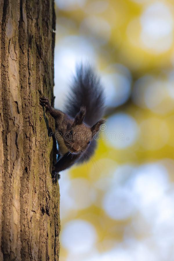 Black squirrel on a tree stock photography