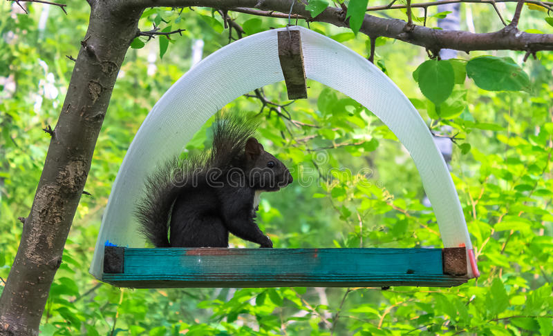 Black squirrel on the tree. Black squirrel in park on atree in the manger stock images