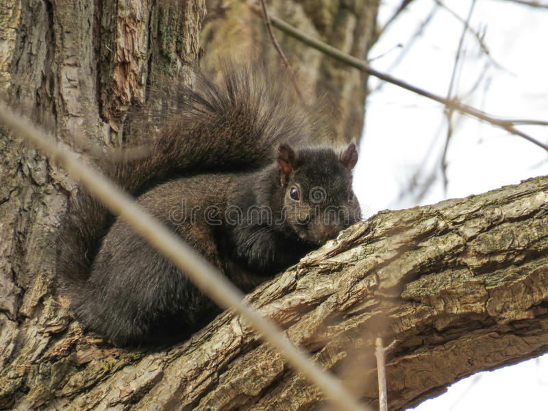 Black Squirrel waiting for summer. A black squirrel who has had enough of the long winter and is eagerly awaiting the warmer summer months royalty free stock photos