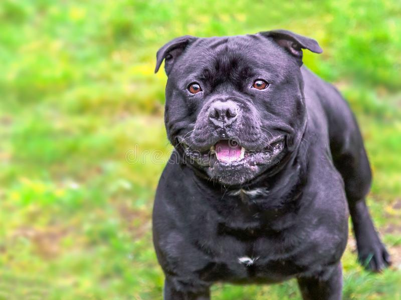 Black Staffordshire Bull Terrier dog looking happy, alert and expectant as is waiting for someone to throw a ball stock photos