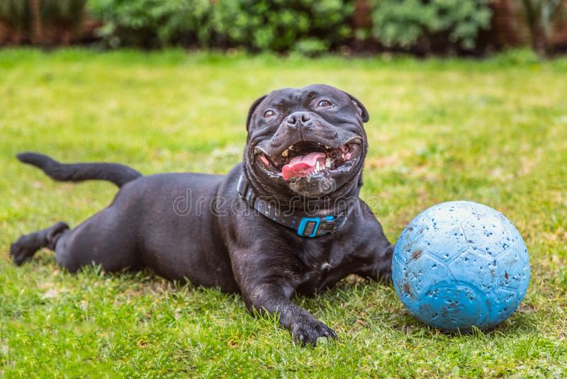Black Staffordshire Bull Terrier dog lying on grass outside, panting and smiling after playing with his rubber ball. That now has puncher marks. He looks very stock photos