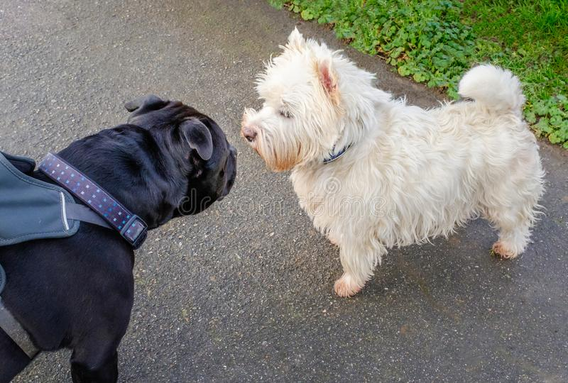 A black Staffordshire bull terrier dog meets a West Highland White Terrier . The Staffie dog is wearing a harness. stock photography