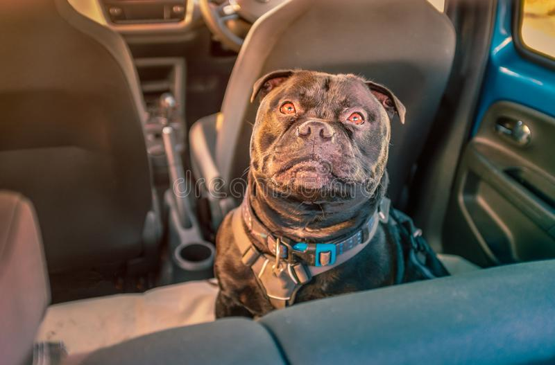 Black Staffordshire bull terrier dog on rear seat of car attached safely with a harness and restraint strap clipped in seat belt stock photos