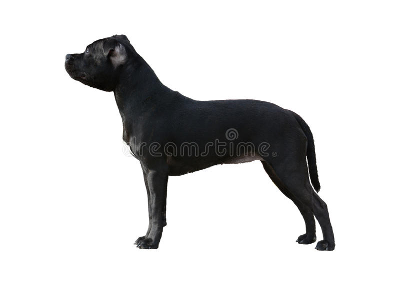 Black Staffordshire Bull Terrier stand isolated royalty free stock photos