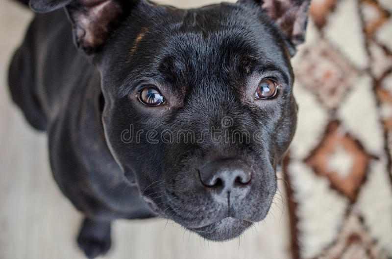 Black Staffordshire Terrier. The American Staffordshire Terrier, also known as Amstaff in the United States or simply Stafford, is a medium-sized, short-coated stock photo