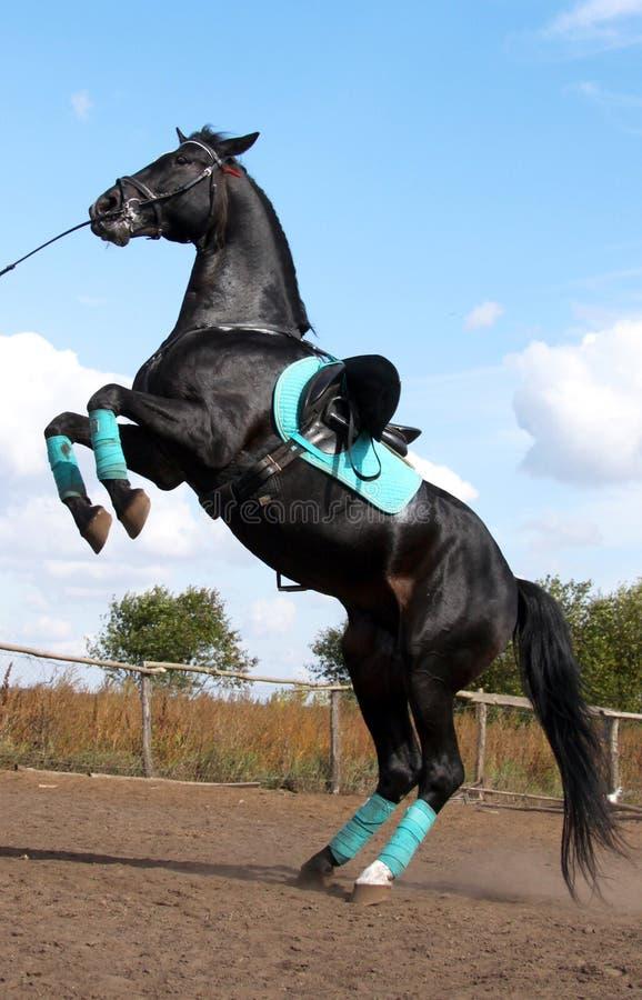 Free Black Stallion Stock Photography - 11436682