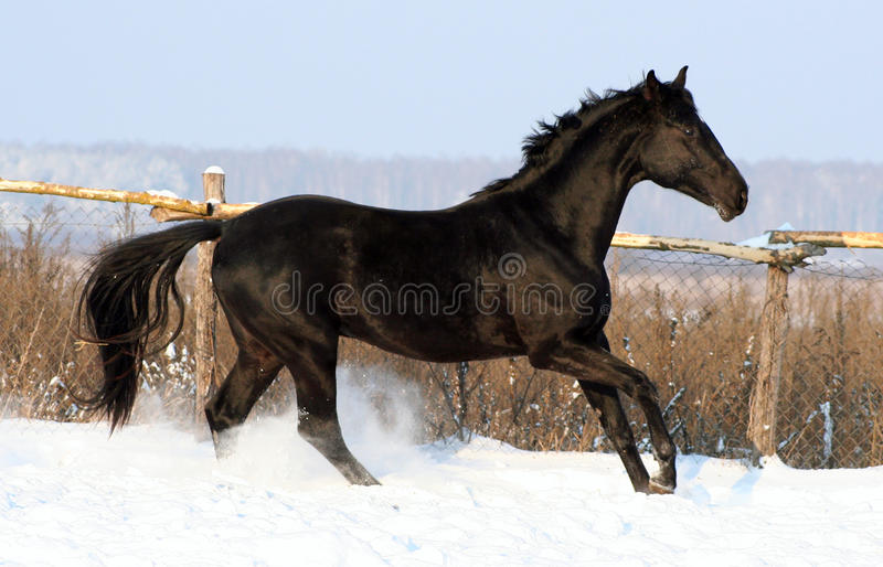 Download Black Stallion Royalty Free Stock Image - Image: 12265116